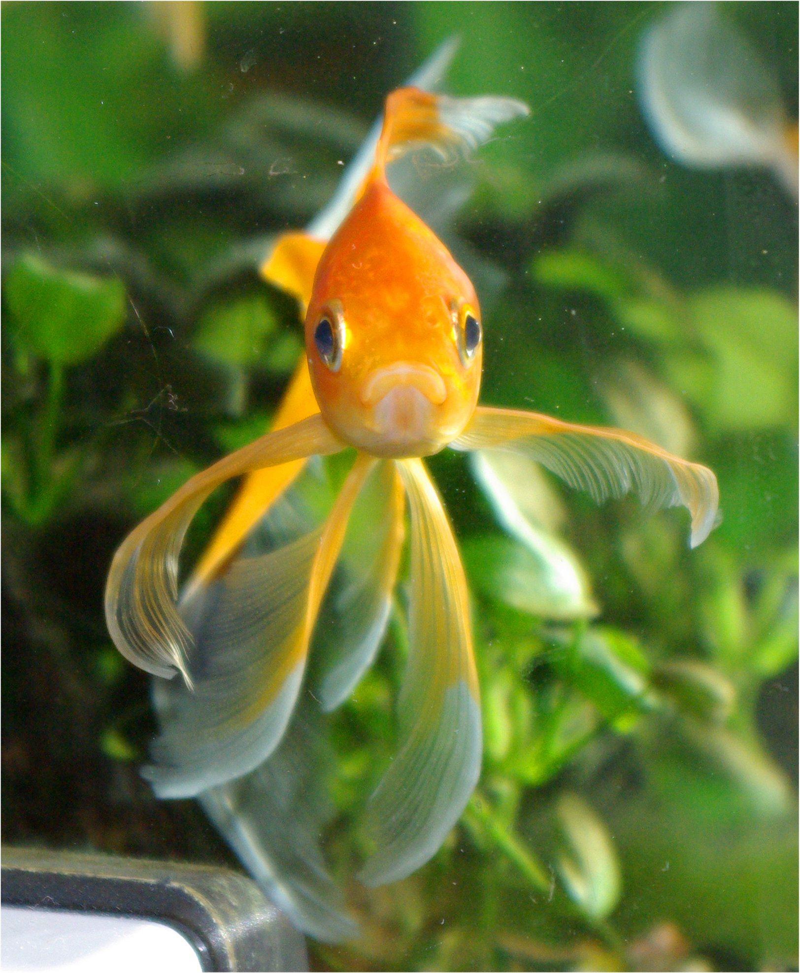 Goldfish Cometa