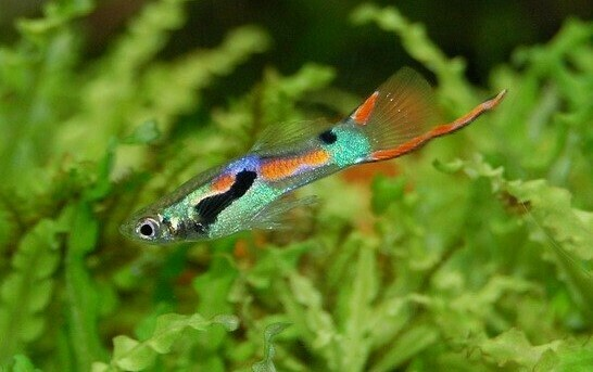 pez guppy endler