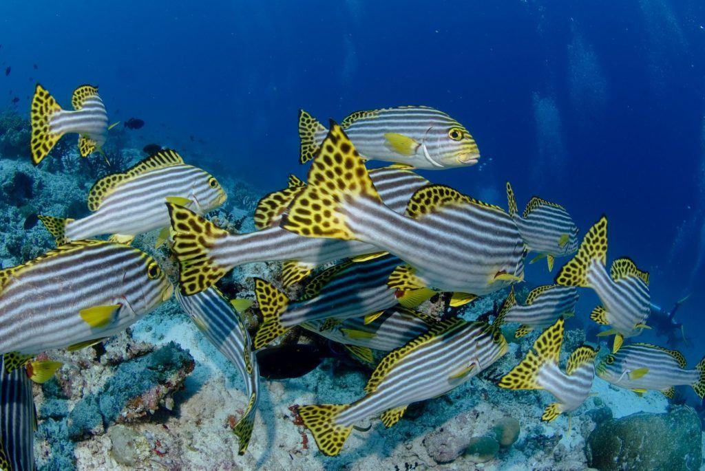 pez cebrita