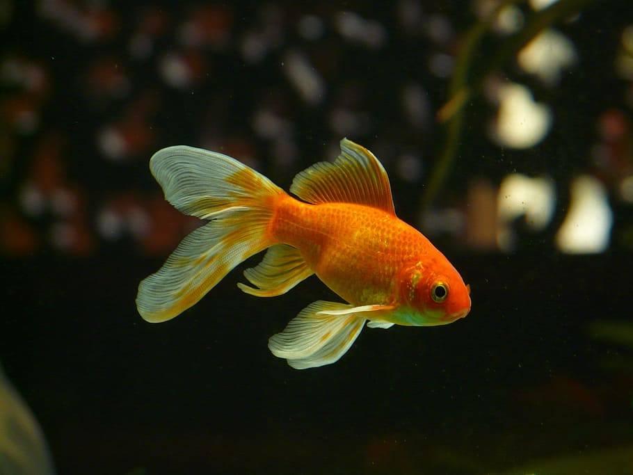 Goldfish Cola de velo o pez dorado cola de velo
