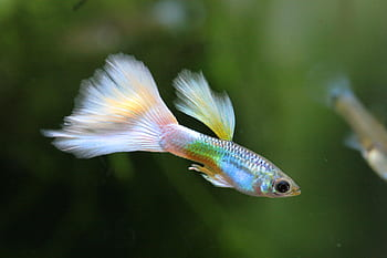 pez guppy de colores