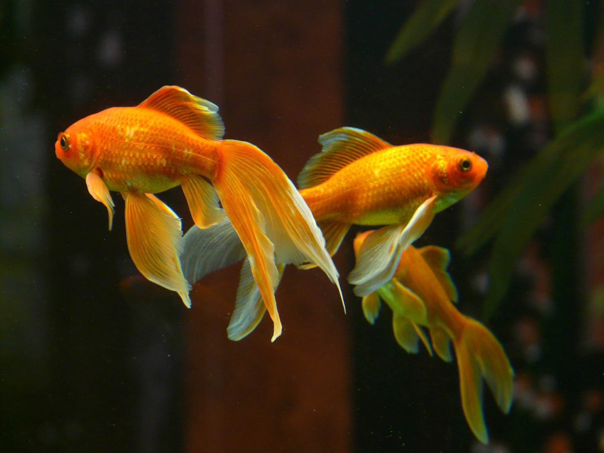 cardumen de peces dorados