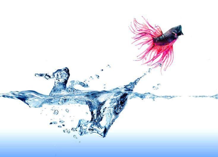 Un pez luchador siamés saltando fuera del agua en blanco